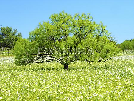 weidenbaum und weisse mohnblumen texas hill
