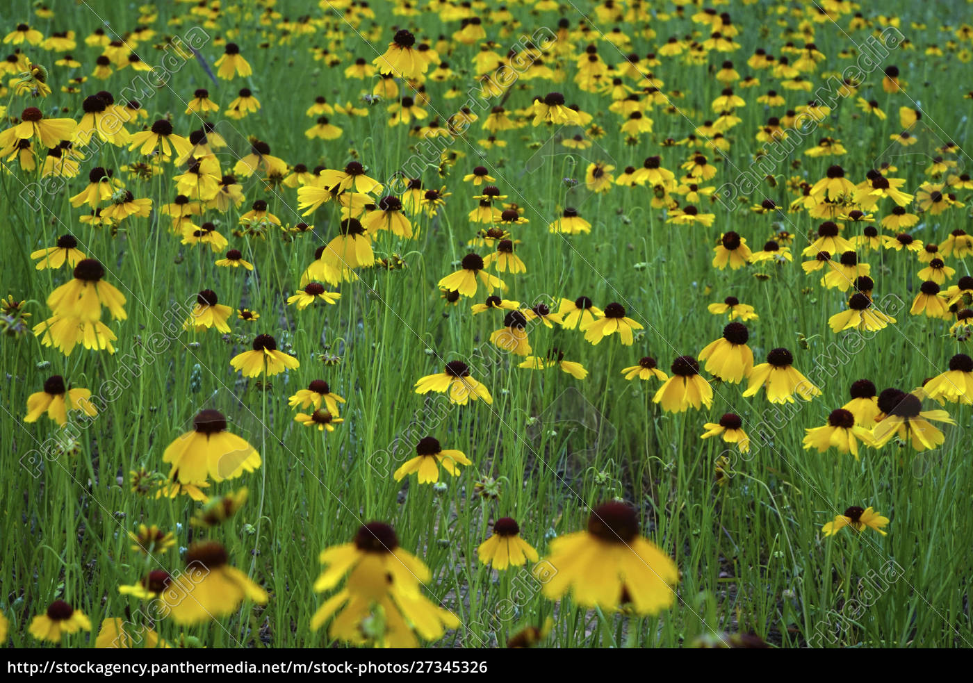 texas, hill, country, wildflowers, , along, the - 27345326