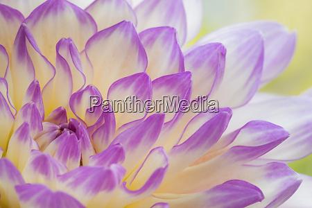 usa washington state seabeck dahlia flower