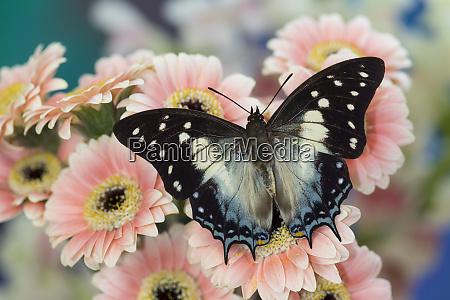 tropical butterfly polyura cognatus sulawesi blue