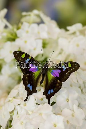 graphium weiski purple spotted swallowtail resting
