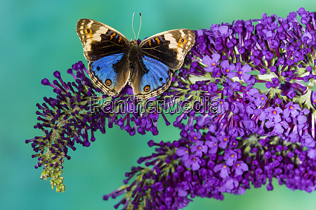 junonia orithya the blue pansy butterfly