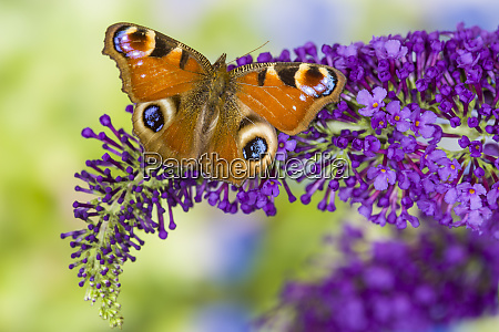 peacock butterfly inachis io resting on