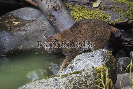 bobcat stalking lachs