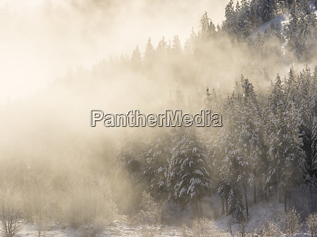 trees in fog with morning light