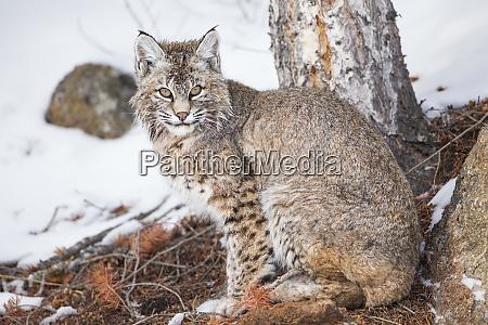 wyoming yellowstone nationalpark bobcat unter baum