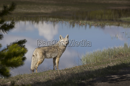 usa wyoming yellowstone national park coyote