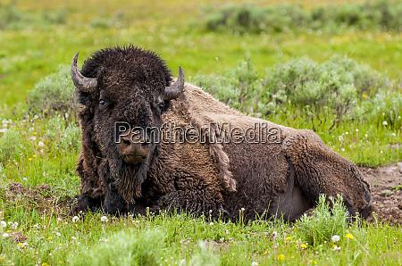 bison bison bison near fishing bridge