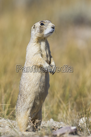 usa wyoming sublette county white tailed