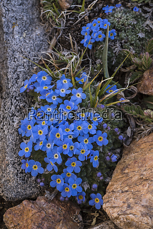 usa wyoming alpine forget me not