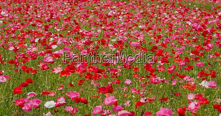 pink poppy flower filed garden