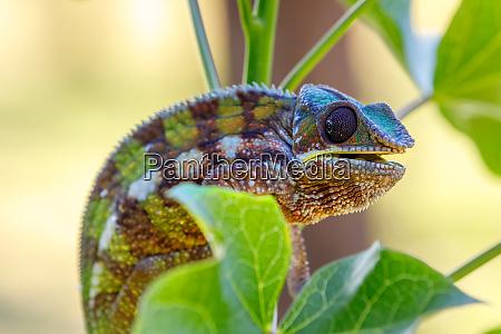 panther chamaeleon masoala madagaskar tierwelt