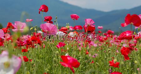 beautiful, poppy, flower, garden, park - 27352749