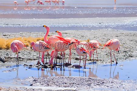 laguna hedionda flamingos bolivien