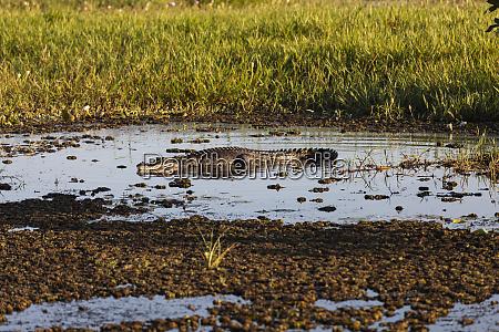 salzwasser krokodil sonnenbaden im sumpf kakadu