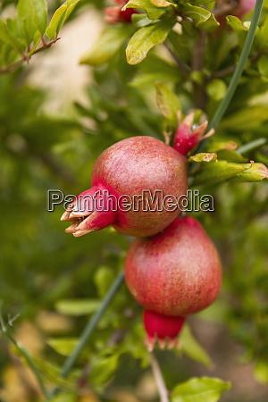 nahaufnahme von bio granatapfel der auf