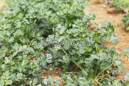 lebendige gruene bio selleriepflanzen die im