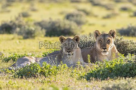 africa namibia etosha national park lions