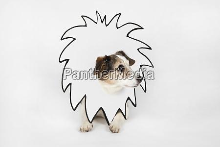 kleiner hund mit gezogener loewenmaehe
