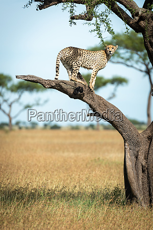 cheetah stands on bare branch watching