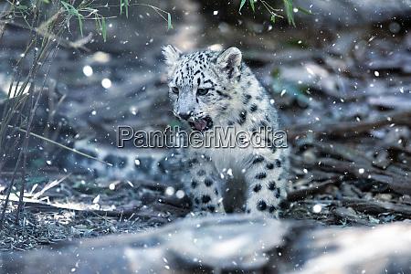 suesses kaetzchen von snow leopard katze
