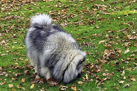 keeshond ist ein mittelgrosser hund mit
