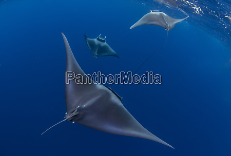 spinetail devil rays mobula mobular engaged