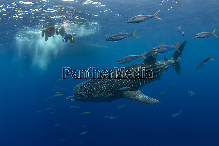 whale shark rhincodon typus with rainbow