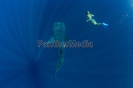 tourist swimming with a whale shark