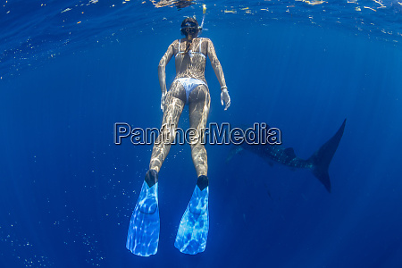 tourist snorkelling with a whale shark