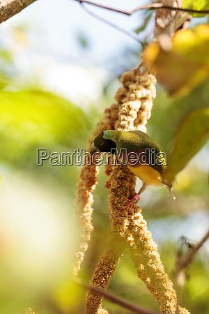 bunte lady gouldian finch erythrura gouldiae