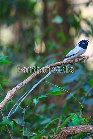 vogel in der natur asiatischer paradies