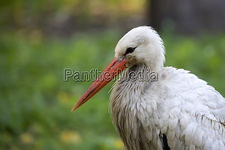 white stork a portrait