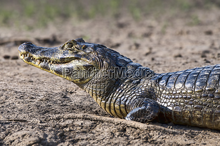 brasilien pantanal 2019 20148