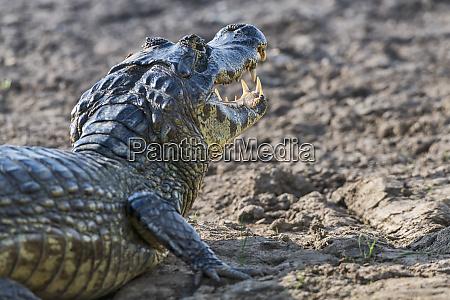 brasilien pantanal 2019 20153