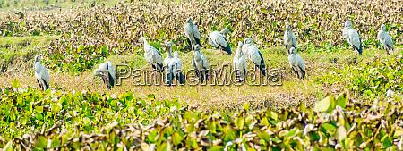 indische schwarze ibis arten von wasservogel
