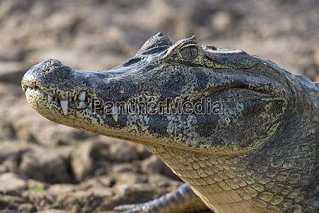 brasilien pantanal 2019 20160