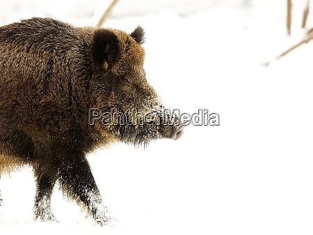 wild boar in winter a portrait