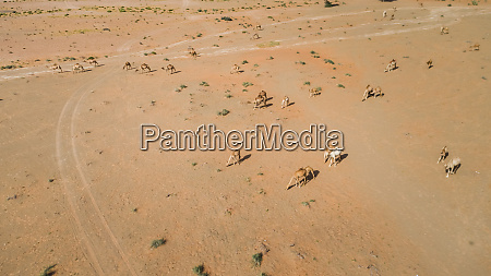 luftaufnahme, einer, gruppe, von, kamelen, in - 27450583