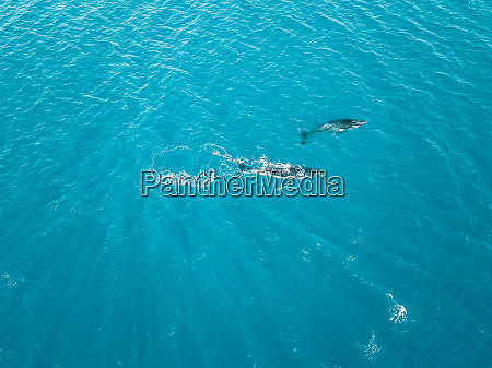 aerial view of two whales shark