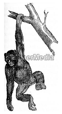 troglodyte schimpanse oder robuste schimpanse vintage
