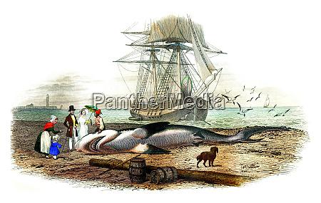 the shark vintage engraving