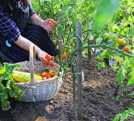 frau erntet frische tomaten aus dem