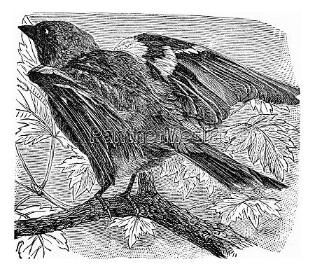 der chaffinch vintage gravur