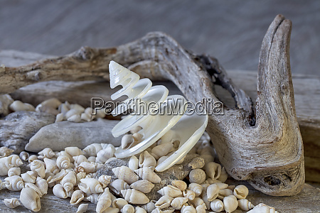 nautical, still, life, with, shell - 27493397