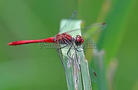 blood red heather dragonfly sympetrum sanguineum