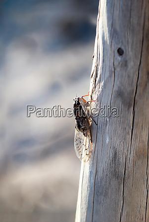 eine zikade auf einem holzpfahl es