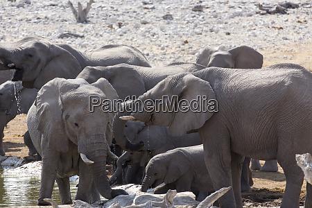 foto von afrikanischen elefanten herde