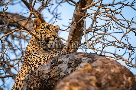 ein leopard panthera pardus liegt in