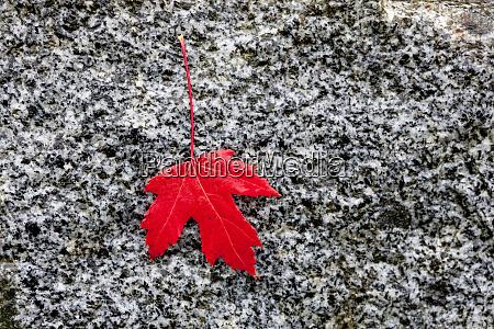 rotes ahornblatt auf grauem hintergrund kanada